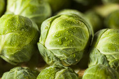 Raw Green Organic Brussel Sprouts. On the Stalk Royalty Free Stock Photography
