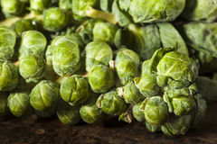 Raw Green Organic Brussel Sprouts. On the Stalk Royalty Free Stock Photos