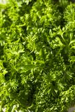 Raw Green Organic Curly Parsley Stock Photography