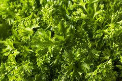 Raw Green Organic Curly Parsley Royalty Free Stock Photo