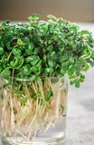 Raw Green Organic radish or daikon Microgreens. For making fresh salads. detox, diet. seedlings. Concept and healthy eating. Selective focus, copy space Royalty Free Stock Photography