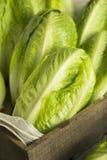 Raw Green Organic Romaine Lettuce Royalty Free Stock Photo