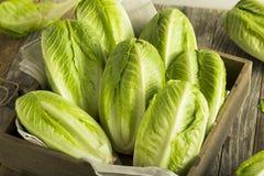 Raw Green Organic Romaine Lettuce Stock Photography