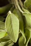Raw Green Organic Sage Stock Photo