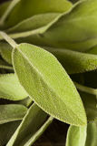 Raw Green Organic Sage Stock Image