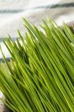 Raw Green Organic Wheat Grass royalty free stock photo
