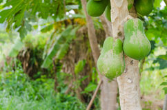 Raw green papaya fruit on the tree Stock Image