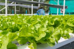 Raw Green Salad Lettuce Growing in Plastic Pipe in Hydroponics O. Rganic Agriculture Farm System as Modern Agro industrial Farming Stock Image
