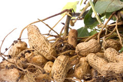 Raw Groundnuts Isolated Royalty Free Stock Photo