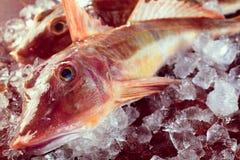 Raw gurnard fish on ice Royalty Free Stock Photography