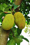 Raw jackfruit on the tree Stock Image