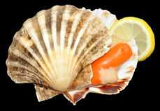 Raw King Scallop Stock Photography