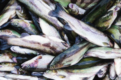 Raw lake trouts - ready for cooking Royalty Free Stock Image