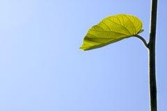 Raw leaf Stock Photography
