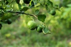 Raw lemon. On  lemon tree in farm Stock Photos