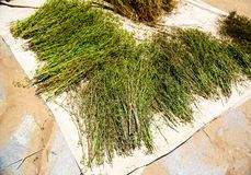 Raw lentils plants drying in the sunlight stock image