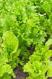 Raw lettuce Stock Photo