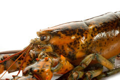 Raw lobster. On withe background Stock Images