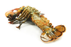 Raw lobster Royalty Free Stock Images