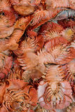 Raw lobster. Raw and fresh lobster in stack as background, as agriculture and fishing industry Royalty Free Stock Photo