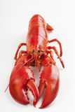 Raw lobster  Stock Images