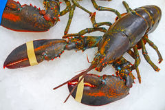 RAW  lobster in the snow Royalty Free Stock Images