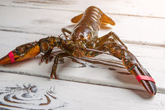 Raw lobster on wooden background. Bands on lobster's claws. Tied but still strong. Aggressive creature of the sea Royalty Free Stock Photography