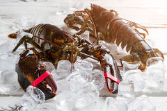 Raw lobsters on ice cubes. Stock Photo