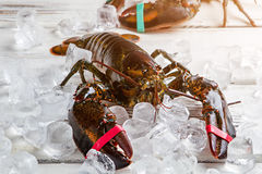 Raw lobsters and ice cubes. Stock Images