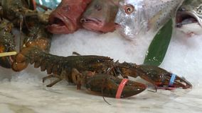 Raw lobsters which takes a hand on a background of different fish on ice. Raw lobsters which takes a hand on a background of different fish stock footage