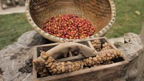 Raw Luwak coffee beans and part-digested coffee cherries stock video footage