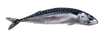 Raw mackerel fish. On white isolated background Royalty Free Stock Images
