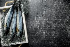 Raw mackerel with fishing net on tray. On dark rustic background royalty free stock photography