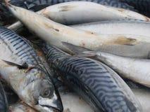 Raw mackerel on the market close up. Selective focus.  Royalty Free Stock Photos