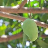 Raw mango Stock Image