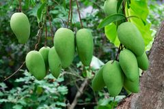 A raw mango in garden. Mangoes growing on tree in garden Royalty Free Stock Image