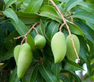 Raw mango on tree Stock Photography