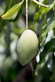 Raw mango Stock Photos