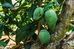 Raw mangoes. Five raw mangoes hanging on the tree Stock Images