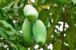 Raw mangoes on the tree. Hanged raw mangoes on the tree closeup Royalty Free Stock Photo