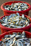 Raw material fish in baskets. At the pier Stock Photography