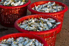 Raw material fish in baskets. At the pier Royalty Free Stock Photos