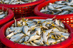 Raw material fish in baskets. At the pier Stock Images