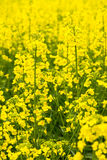 Raw material for the production of vegetable oils and additives to biofuel Stock Photo