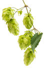 Raw materials for the production of beer hop isolated Stock Images