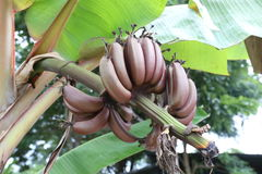 Raw Musa banana of tropical fruit (Nark banana) on tree. Stock Image
