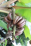 Raw Musa banana of tropical fruit (Nark banana) on tree. Royalty Free Stock Photos