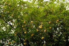 Raw Nutmeg hanging on nutmeg tree, North Sulawesi. Indonesia Royalty Free Stock Images