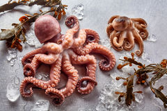 Free Raw Octopus With Kelp And Melting Ice Royalty Free Stock Image - 71441396