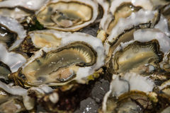 Raw open Oysters Royalty Free Stock Photo